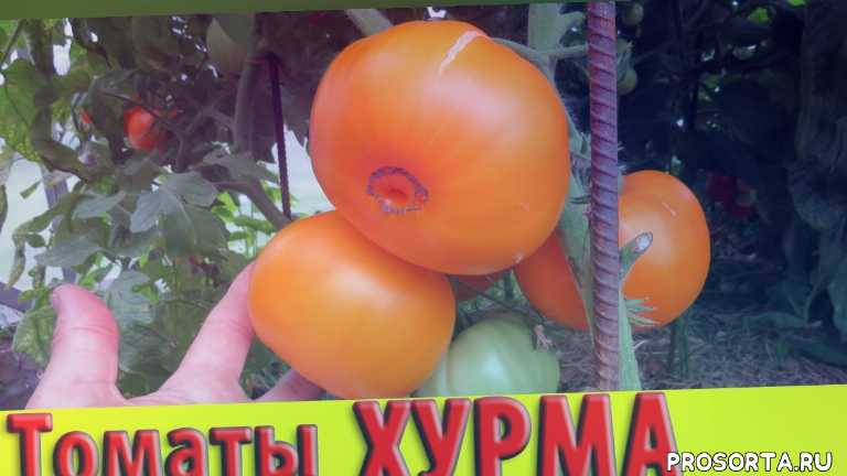 помидоры хурма в теплице, томат хурма в теплице, томаты хурма, помидор хурма, выращивание томатов, закрытый грунт, какие сорта томатов лучше сажать в теплице, помидоры для засолки