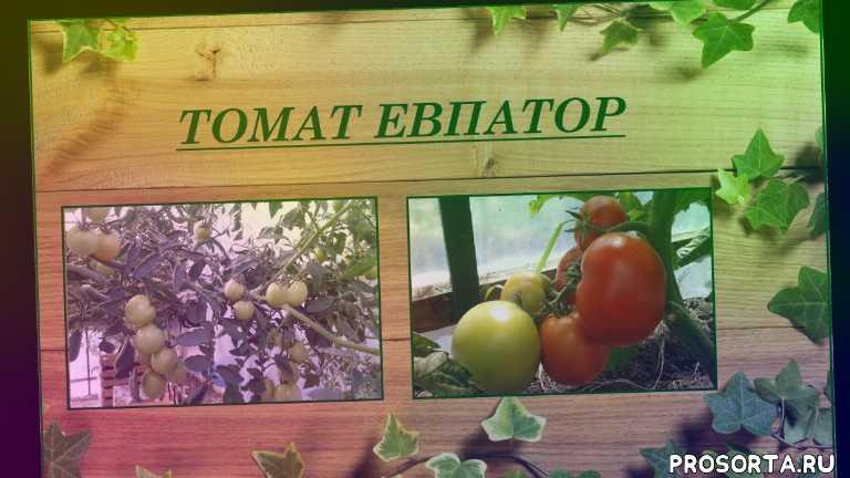 томаты, томаты для консервирования, томаты урожайные, томаты уход, томаты рассада, томаты посадка, томаты гибриды, сорта томатов лучшие