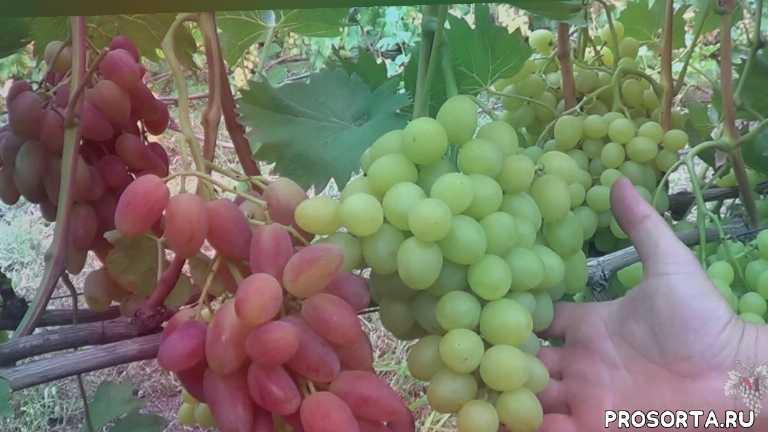 описание винограда, сбор урожая винограда, сорт винограда аркадия, сорт винограда юбилей новочеркасска, аркадия, виноград аркадия, юбилей новочеркасска, виноград юбилей новочеркасска