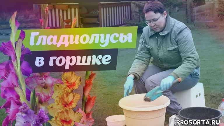 узод за гладиолусами, выращивание цветов, удобный способ посадки гладиолусов, выращивание гладиолусов, посадка гладиолусов в горшок, гладиолусы, посадка гладиолусов, посадка цветов