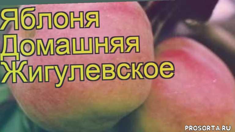яблоня домашняя жигулевское посадка, яблоня домашняя жигулевское отзывы, где купить саженцы яблоню домашнюю жигулевское, купить саженцы яблони жигулевское, саженцы яблоню домашнюю жигулевское, видео яблоня домашняя жигулевское, яблоня домашняя жигулевское описание характеристик, краткий обзор яблоня домашняя жигулевское