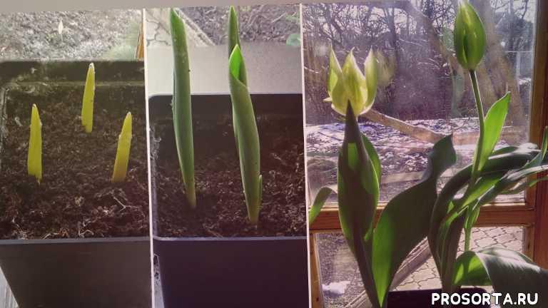 луковичные, луковичные цветы, красивые цветы, жизнь в деревне, любимая усадьба, выгонка к 8 марта, выгонка, выращивание тюльпанов