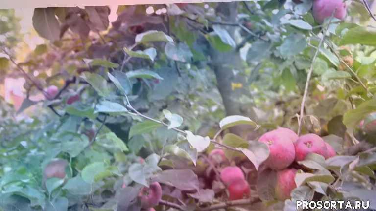 Сестра Либерти-осенний сорт яблонь