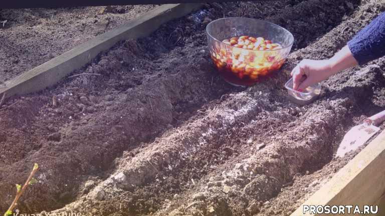 зола, нашатырный спирт, защита лука от вредителей, обработка лука перед посадкой, выращивание лука, средство, способ, правильная посадка