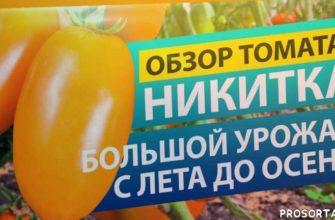 плодоносит до осени томат, раннеспелый томат, обзор томатов, томат для солений, томат для засолки, желтые томаты, томат никитка отзыв, томат никитка