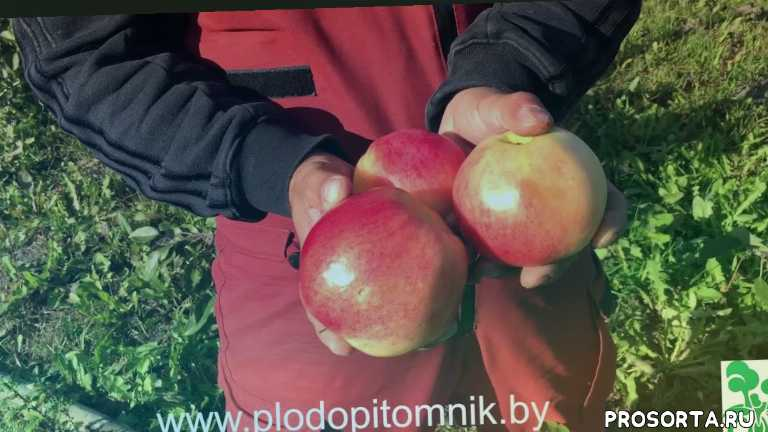яблони стланцевые, яблони ковровые, яблони зонтики, стелющиеся яблони, соколовское, ковровое, яблоня