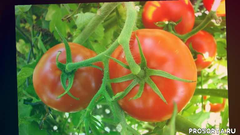 свхожесть, томаты, помидоры, семена, волгоградский