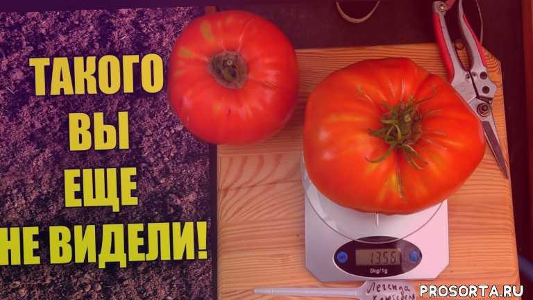 урожайный огород, урожай, урожайные томаты, крупные томаты, гигантские томаты, томаты, рассада, помидоры