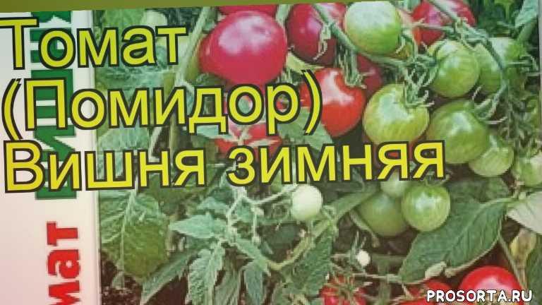 томат зимняя вишня посадка и уход, томат зимняя вишня уход, томат зимняя вишня посадка, томат зимняя вишня отзывы, где купить семена томат зимняя вишня, купить семена томата зимняя вишня, семена томат зимняя вишня, видео томат зимняя вишня