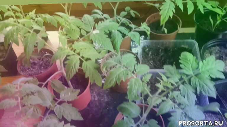 перцы острые выращивание, что на листьях томатов, как бороться с вредителями томатов, пятна на листьях рассады, пятна на листьях томатов, как предотвратить переростание рассады, переростание рассады борьба, как вырастить рассаду томатов