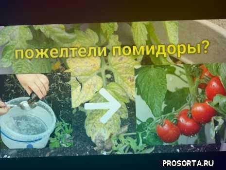помидоры +в теплице, открытый грунт, помидора пожелтела, желтый лист, желтеют листья, желтеет лист, скручиваются листья, выращивание помидор