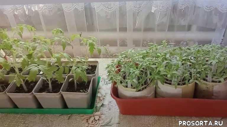 семена, сроки, рассада, ялуторовск, сибирь, томатов, посев