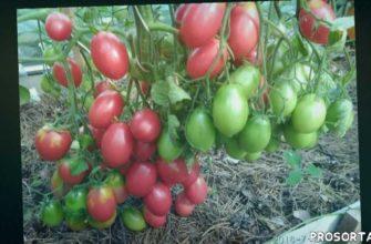 урожайный сорт томата, вкусный сорт томата, вкусный томат, томат в теплице, томат гроздевой, томат розовый снег, сорта помидор, сорта томатов
