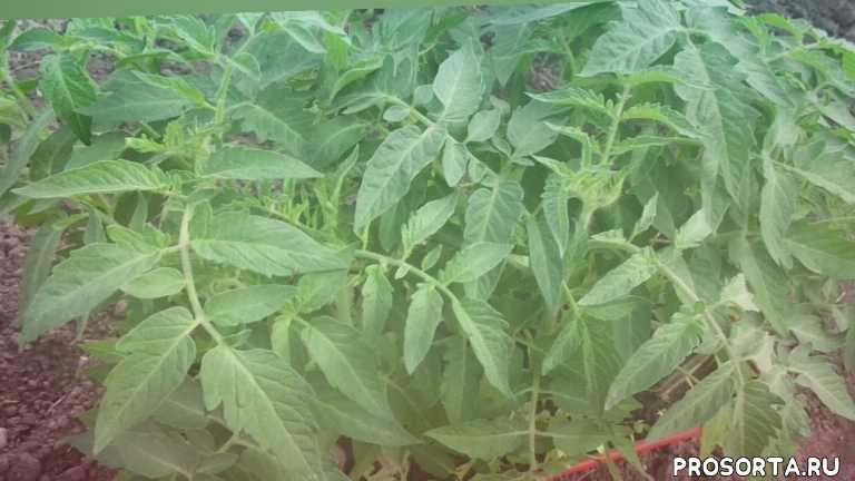 сад огород томат буян самый неприхотливый томат томаты для занятых огородников