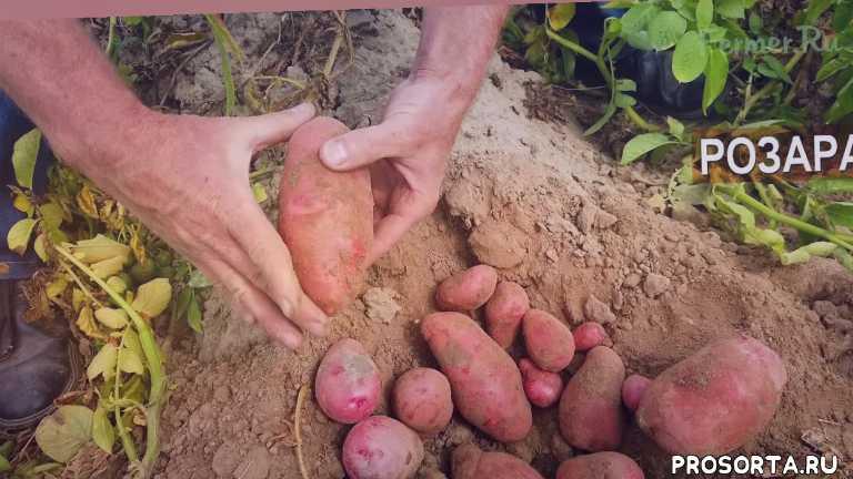 картошка, фермерский бизнес, бизнес на селе, сельскохозяйственный бизнес, подсобное хозяйство, кфх, лпх, апк