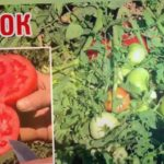 ЮГ РОК - Жаростойкий шикарный сортовой томат, помидор (25-07-2018)