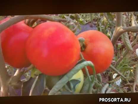 томатяблочный, сорт томата яблочный, +когда сеять помидоры +в 2020, сорта помидоров +для открытого, выращивание помидор, семена томатов, томаты, сорта томатов