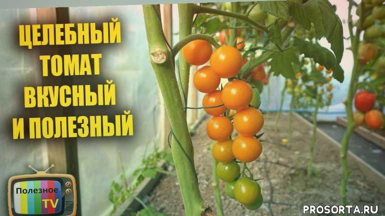 чери, томат черри, помидоры черри, черри, низкорослые помидоры, высокорослые помидоры, индетерминантные, детерминантные