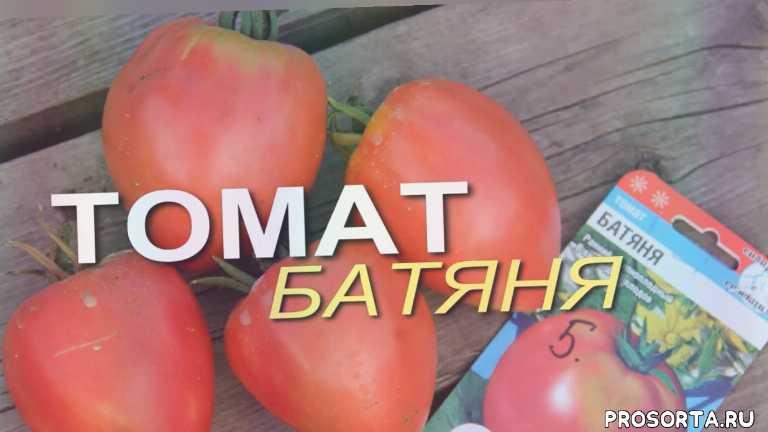 теплица, дача, дом сад огород, плод томата, сорта томатов, выращивание томатов в теплице, томат батяня, выращивание помидоров