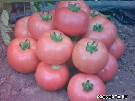томаты, томат розовая андромеда f1, дача, огород, сад, фрукты, овощи, моя дача