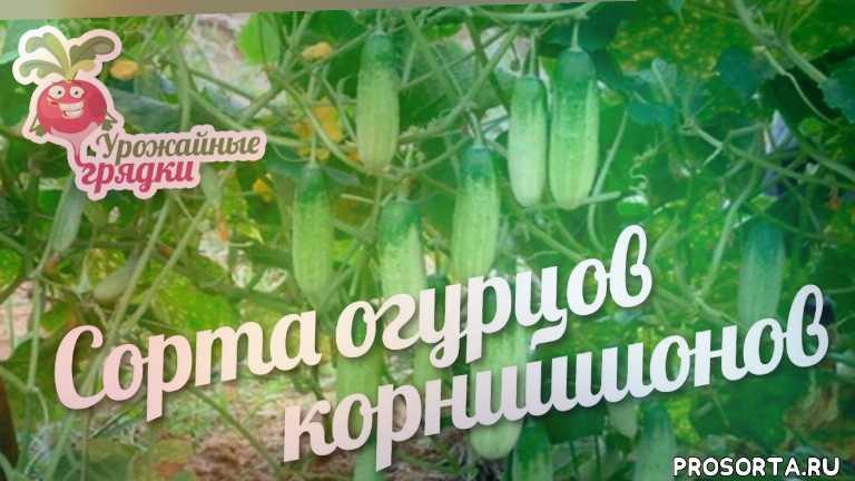 урожайные грядки, огурцы, огурцы корнишоны, корнишоны огурцов, сорта огурцов корнишонов, огурцы корнишоны сорта, огурцы корнишоны отзывы, огурец корнишон f1