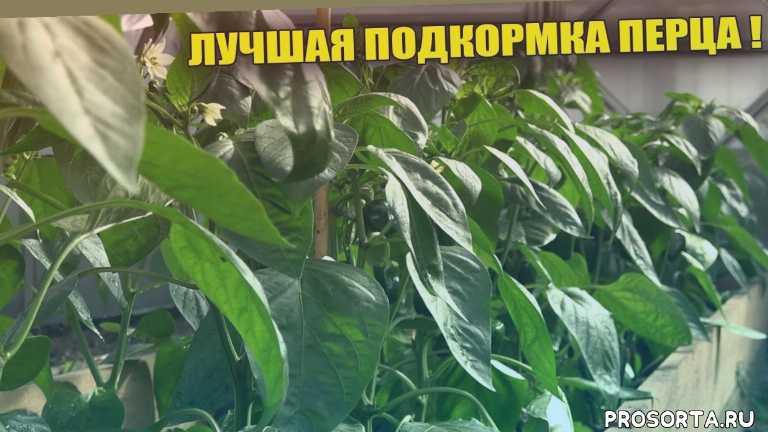 урожайный огород, чем подкормить, полив, как увеличить, как вырастить перец, выращивание перца, удобрение, подкормка