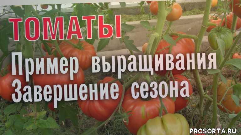 история выращивания томатов, как вырастить много томатов, помидоры, большой урожай томатов, сбор урожая томатов, выращивание томатов, урожай томатов, томаты
