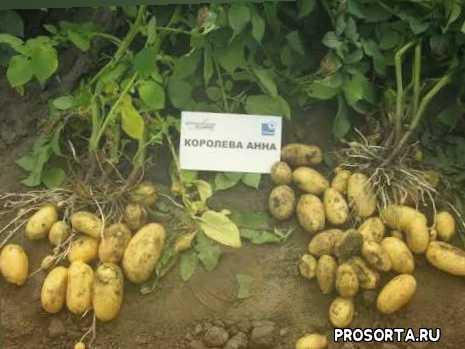 картошкой, уход за картофелем, чем подкормить картофель, когда сожать картофель, королева анна, характеристика сорта королева анн, картофель королева анна