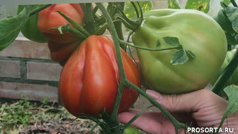лучший помидор, лучший томат, вкусные томаты, вкусные помидоры, крупноплодный помидор, крупноплодный томат, высокоурожайный сорт, высокоурожайный помидор