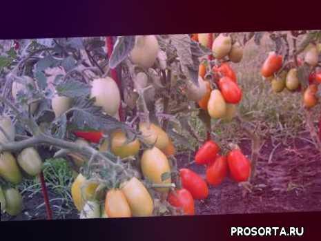 посев семян, семена томатов, подкормка томатов, помидор, характеристика сорта правильный уход за томатом, томат челнок