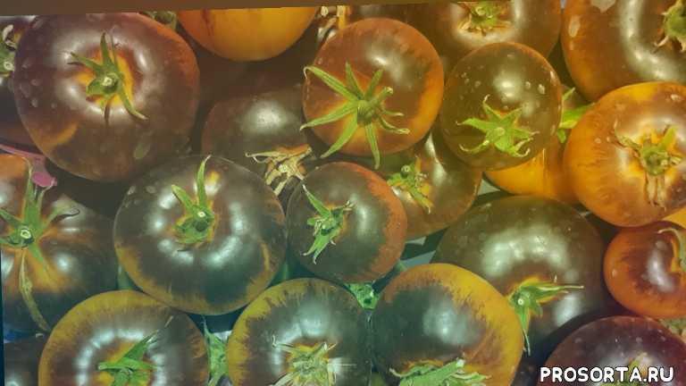 сорта помидоров, салатные, вкусные, самые вкусные, с антоцианом, плоский, плоскоокруглый, биколор