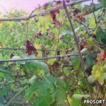 Белый налет на листьях винограда -  описание, лечение и профилактика заболеваний