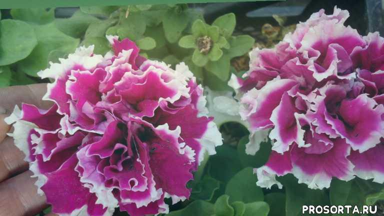 выращивание петунии, посев петунии, петуния, огородная азбука, ольга чернова