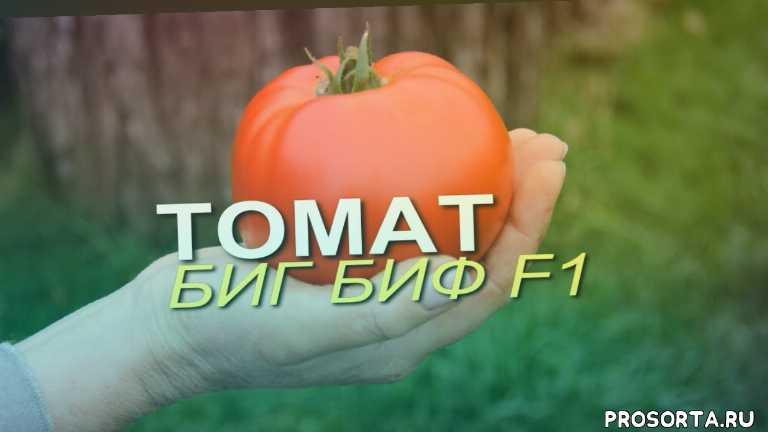 дача, дом сад огород, помидоры в теплице выращивание, характеристики сортов томатов, плод томата, томаты в теплице, сорт томата биг биф f1, томат биг биф f1