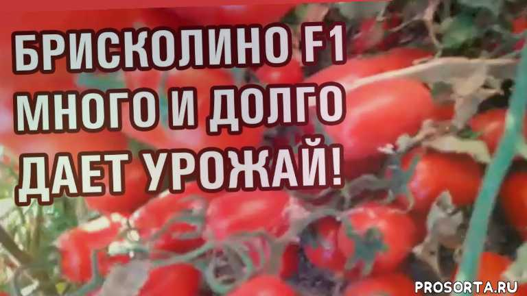 шымкент, урожай помидора, урожай томата, united genetics, briscolino f1, брисколино f1, как выращивать помидор, как выращивать томат