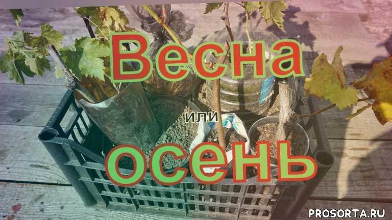 youtube, winogrona bialorusi, grapes belarus, северный виноград, виноградарство беларуси, вызревание лозы, посадка винограда осенью, как вырастить виноград