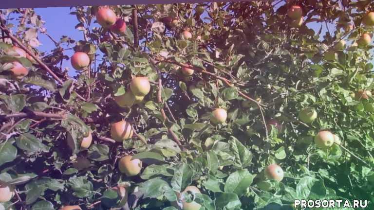 мельба видео, яблоня мелба - плодоношение, мелба яблоня, яблоня