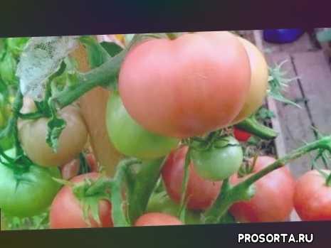сорт томата алтайский розовый., индет алтайский розовый, моя коллекция томатов, крупноплодный томат алтайский розовый, среднеспелый томат алтайский розовый, томат алтайский розовый