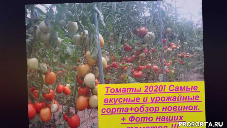 новинки томатов, delicious tomatoes, tomato, урожайные томаты, урожайные сорта томатов, какие сорта томатов посеять, шапка мономаха, корнеевский