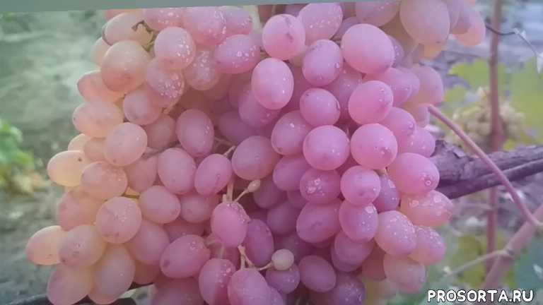 hrozny, struguri, ყურძენი, uva, winogrona, szőlő, grape raisin, rodzynki z winogron