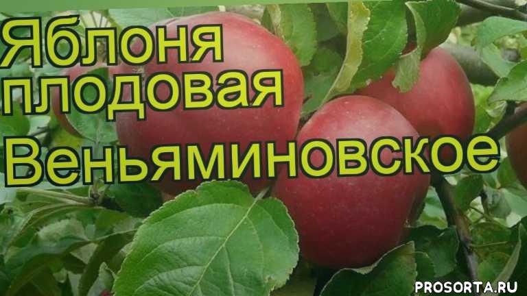 где купить саженцы крупномеры яблоню плодовую веньяминовское, купить саженцы крупномеры яблони веньяминовское, саженцы крупномеры яблоню плодовую веньяминовское, видео яблоня плодовая веньяминовское, яблоня плодовая веньяминовское описание характеристик, краткий обзор яблоня плодовая веньяминовское, malus domestica veniaminovskoe, malus domestica
