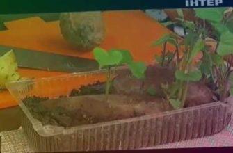 planting, sweet potato, batata, картофель батат, выращивание батата, батат как вырастить, батат польза, сладкая картошка