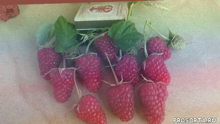 сорта малины питомника школьный сад, как растить малину, уход за малиной, малина, ягоды, сладкая малина карамелька, купить ремонтантную малину, светлана татур