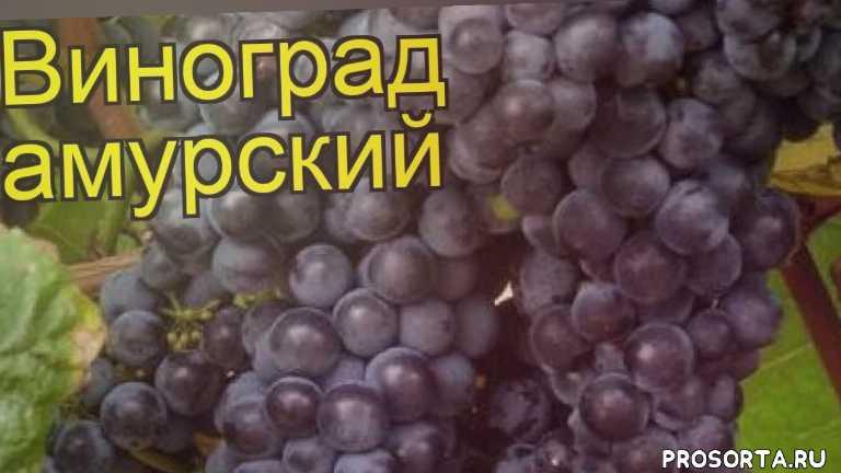 виноград амурский какие растения сажают рядом, виноград амурский посадка и уход, виноград амурский уход, виноград амурский посадка, виноград амурский отзывы, где купить саженцы виноград амурский, купить саженцы винограда, саженцы виноград амурский