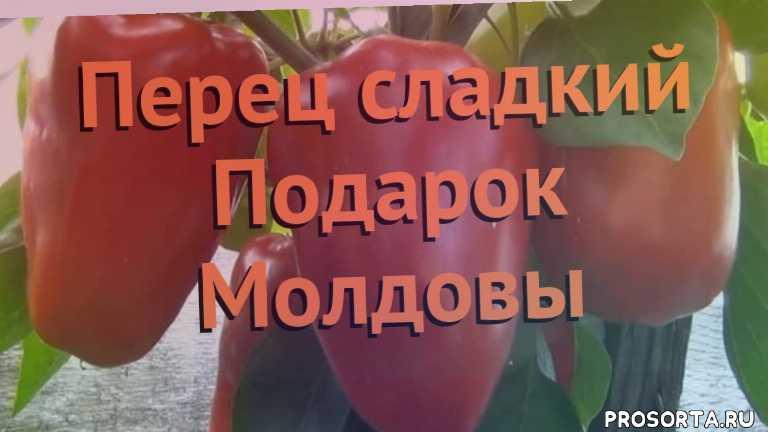 семена, семена перца подарок молдовы, перец сладкий подарок молдовы обзор как сажать, перец сладкий подарок молдовы обзор, перец подарок молдовы обзор как сажать, травы, сладкий перец подарок молдовы обзор как сажать, сладкий перец подарок молдовы обзор