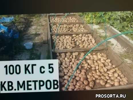 секреты выращивания картофеля, выращивание картофеля на малой площади, выращивание картофеля под мульчей