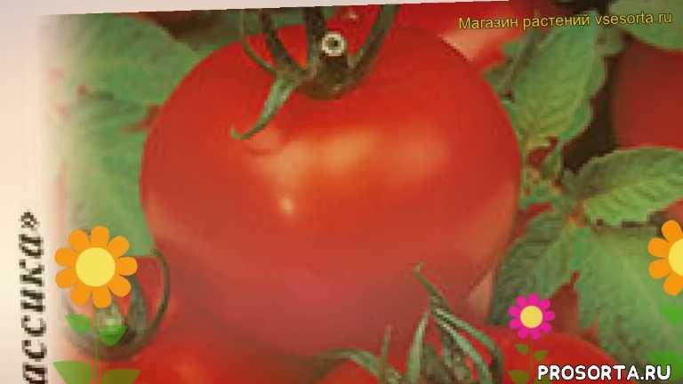 томат верлиока f1 какие растения сажают рядом, томат верлиока f1 посадка и уход, томат верлиока f1 уход, томат верлиока f1 посадка, томат верлиока f1 отзывы, где купить семена томат верлиока f1, купить семена томата верлиока f1, семена томат верлиока f1
