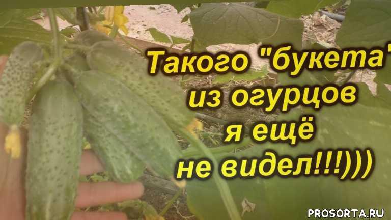 когда, как, урожай, зеленцы, сорт, теплица, гибрид, бьёрн