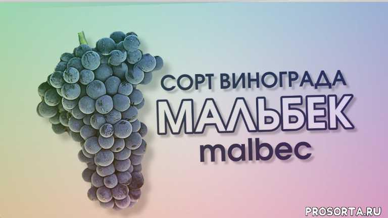 сорт красного винограда, сорт красного винограда мальбек, что такое танины, шелковистые танины, танины, аргентинские вина, аргентинское вино, виноделие аргентины