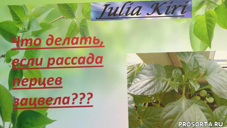 what to do if seedling peppers bloomed?, рассада перцев, рассада перцев зацвела, что делать если рассада перцев зацвела, если рассада перцев зацвела, что делать